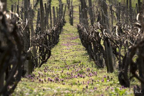 Morawy winnice 1