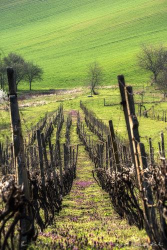Morawy winnice 2